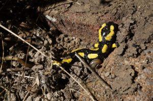 une salamandre noire et jaune
